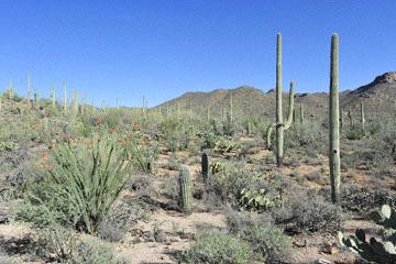 blog (6x4@300) Yoko 14, Saguaro NP (Bajada Loop Drive, Red Rock Visitor Center, Sus Picnic Area), 8E Sonoran Desert, AZ_DSC9023-3.28.18.jpg