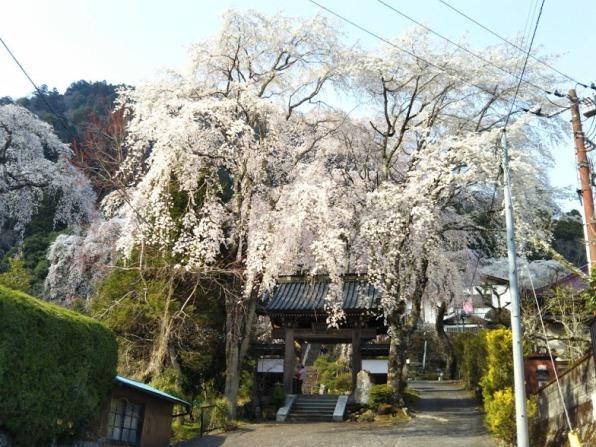 身延山12 桜かぶりの門