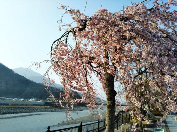 身延山18 駅前を流れる富士川 ここにも枝垂桜が・・・