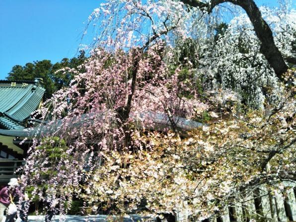 身延3 桜の競演
