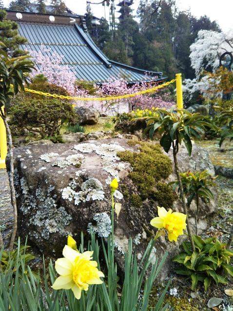 身延山7 今年はどの花も一斉に咲きだしたという感じ 大好きなスイセンも一緒に見れて最高