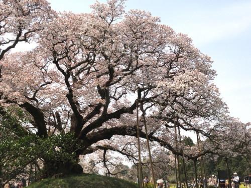 吉高の大桜のお花見だぁ~(山桜)