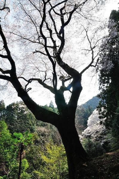 6源太桜180331