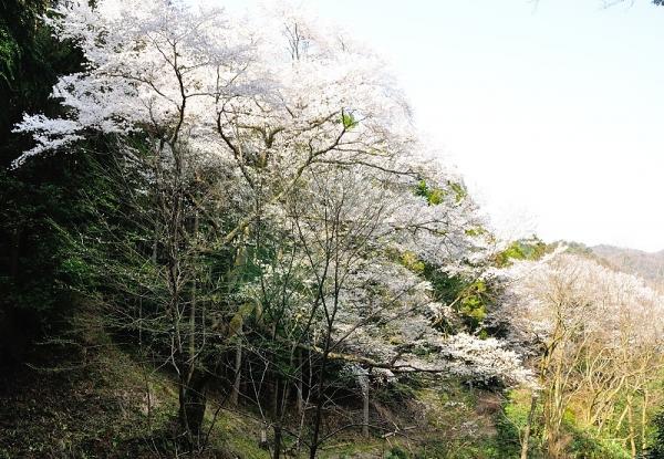 3源太桜180331