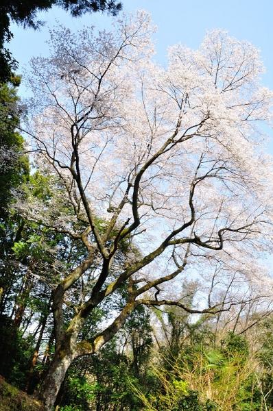 2源太桜180331
