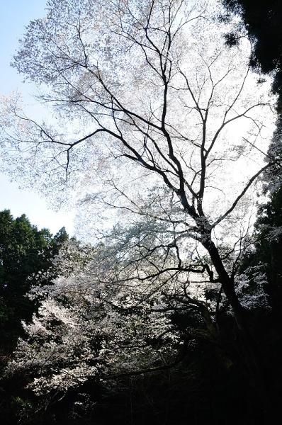 1源太桜180331