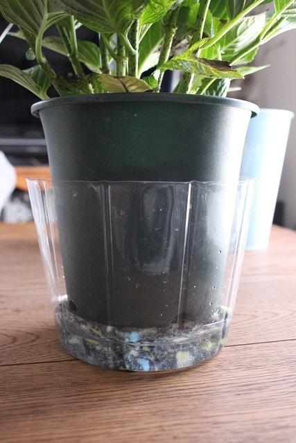 アクアセル 紫陽花 (2)