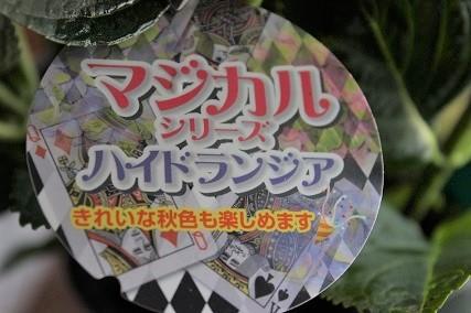 アクアセル 紫陽花 (3)