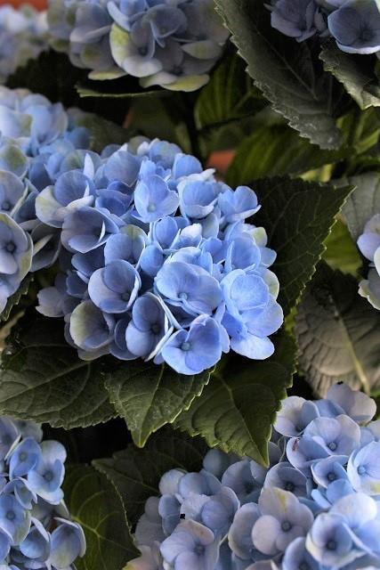 アクアセル 紫陽花 (5)