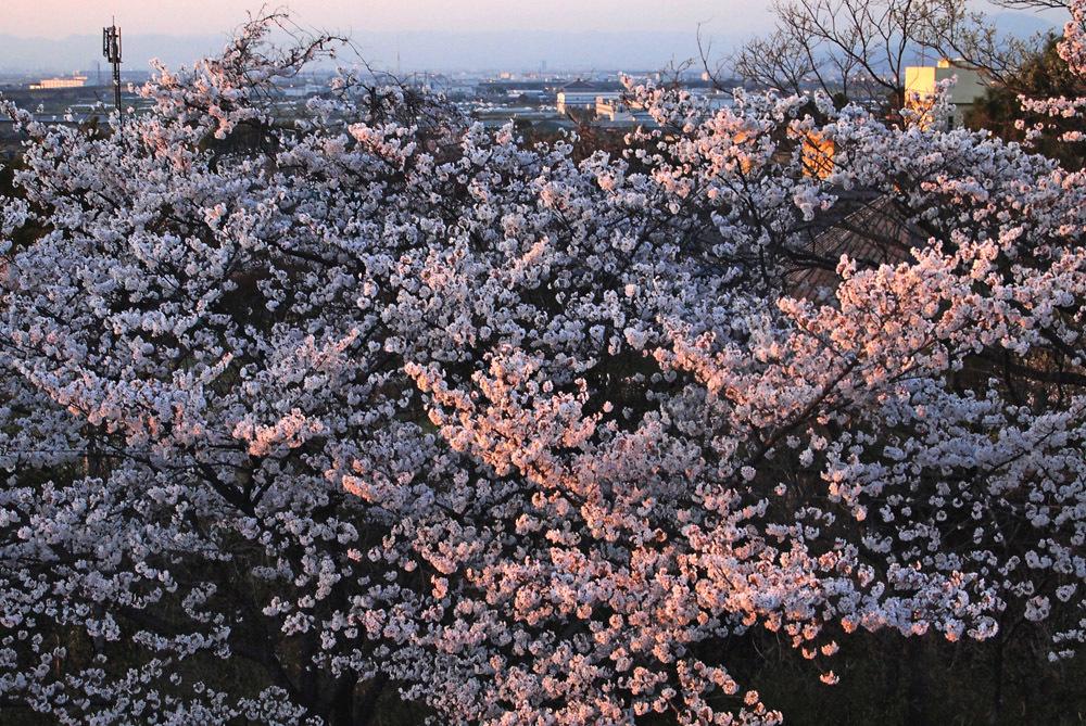 大住の桜11_edited-2