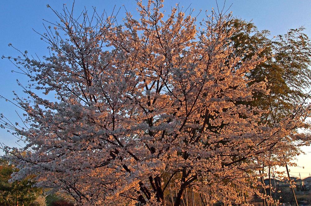大住の桜10a