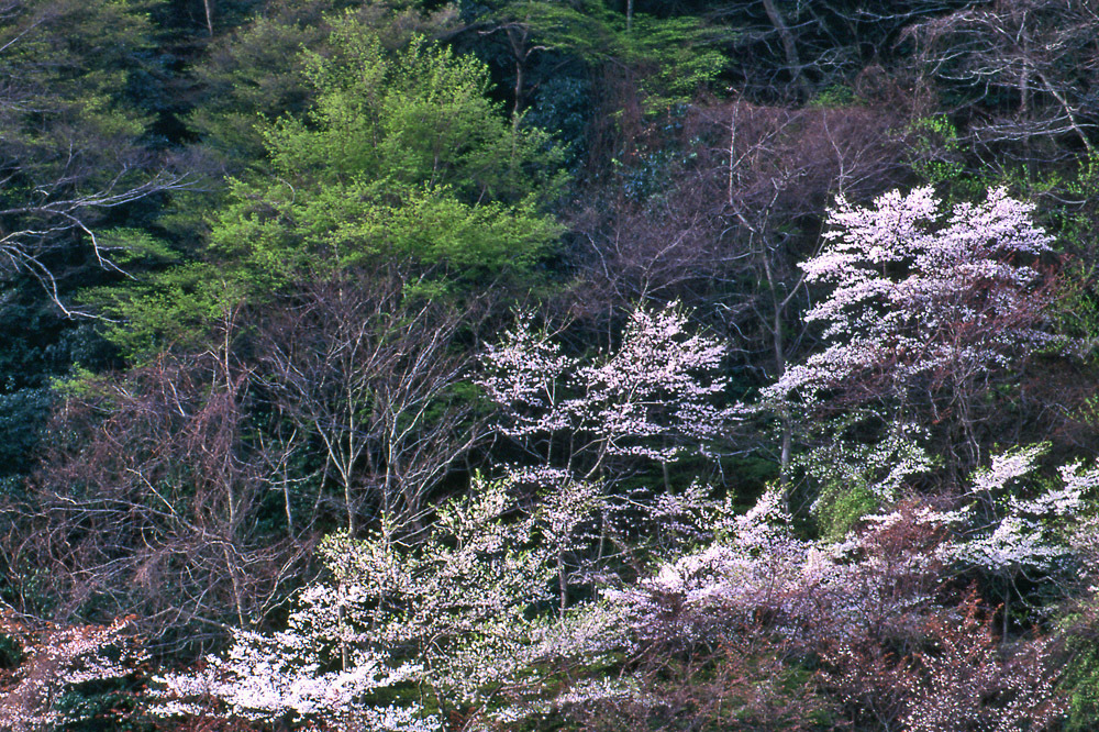 山桜(嵐山)03