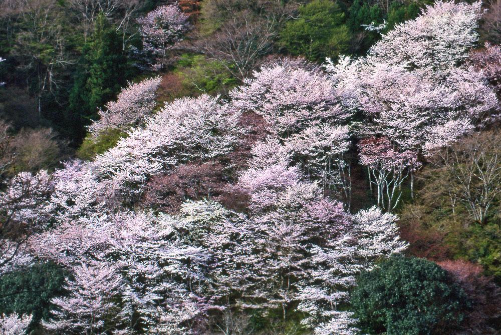 山桜(嵐山)01