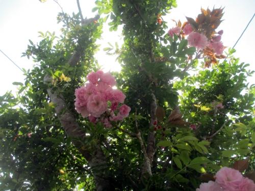 八重桜とモッコウバラ