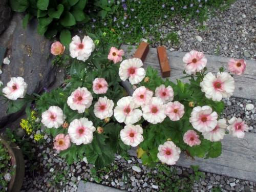 ラナンキュラス八重の桜