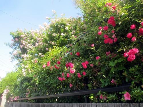 南側のバラ