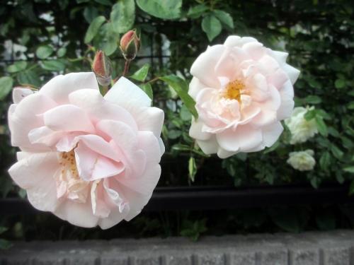 名無しのピンクのツルバラ